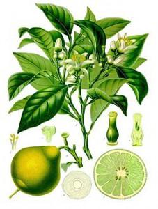 250px-Citrus_bergamia_-_Köhler–s_Medizinal-Pflanzen-184